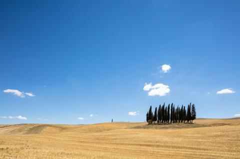 Cypresses, Casaltina, Tuscany, Italy