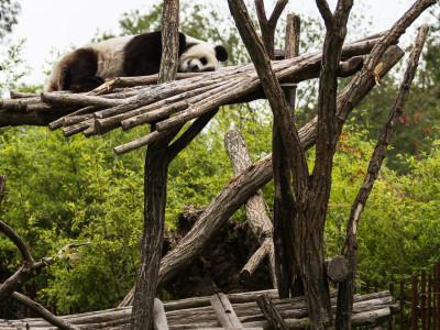 Giant Panda PairiDaiza